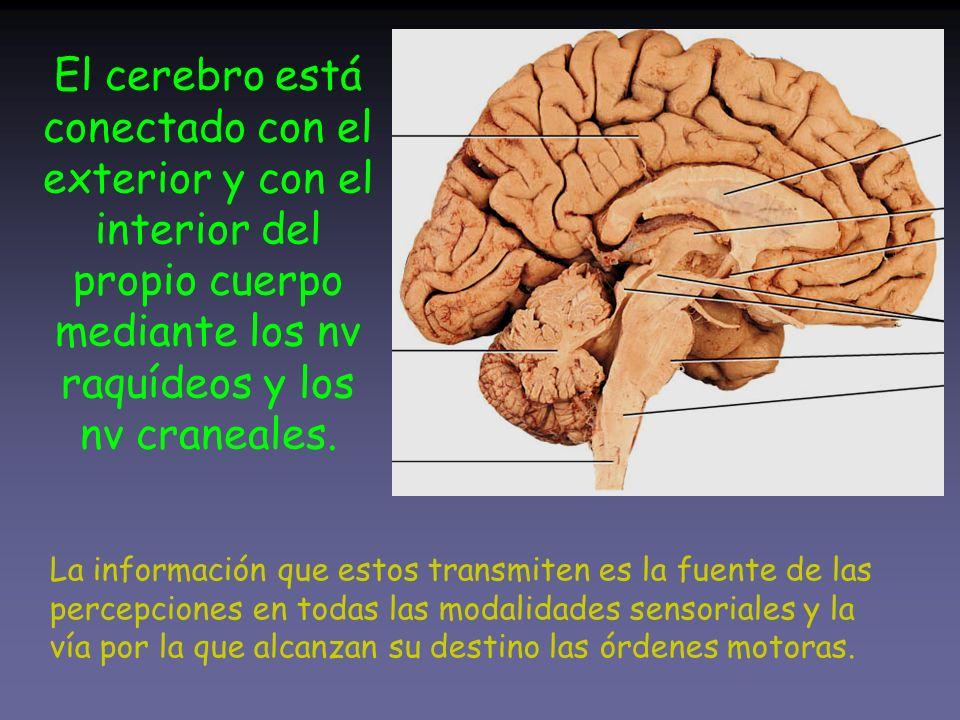 El cerebro está conectado con el exterior y con el interior del propio cuerpo mediante los nv raquídeos y los nv craneales.