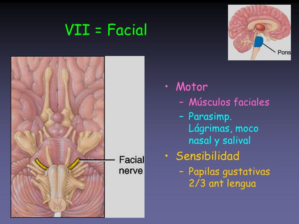 VII = Facial Motor Sensibilidad Músculos faciales