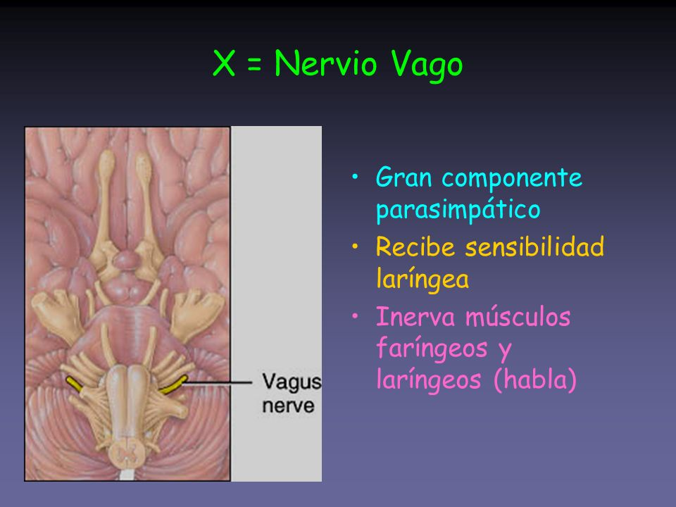 X = Nervio Vago Gran componente parasimpático