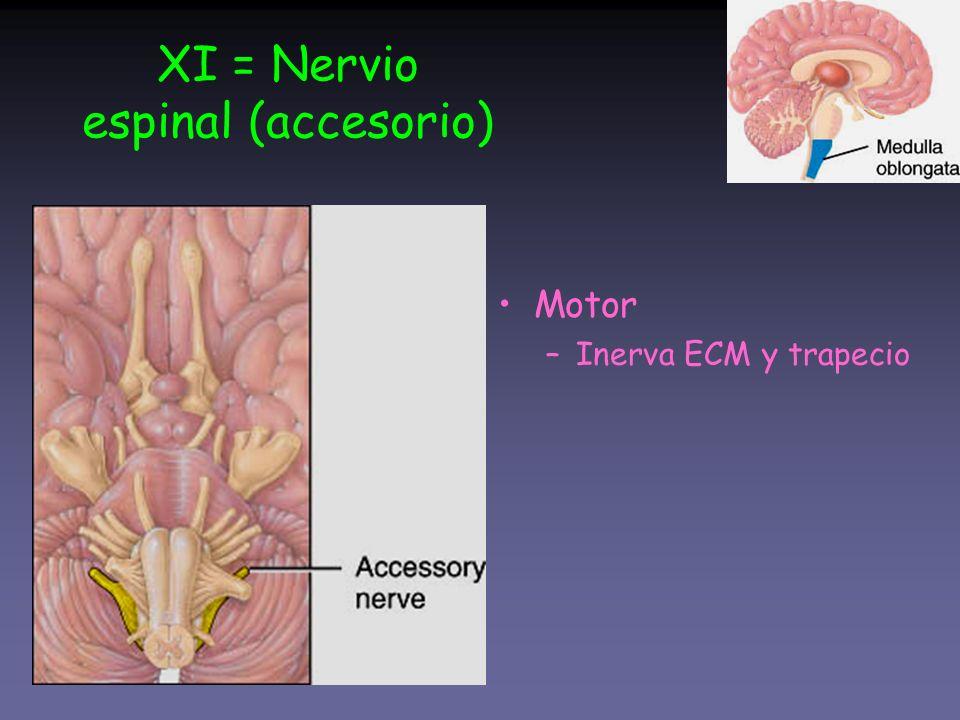 XI = Nervio espinal (accesorio)