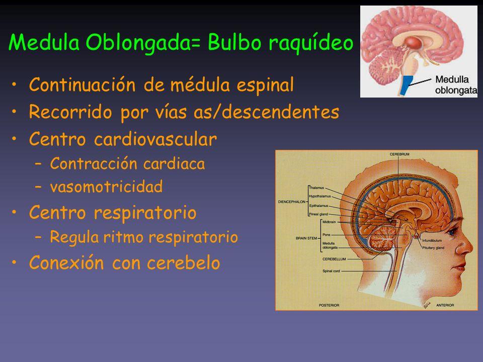 Medula Oblongada= Bulbo raquídeo
