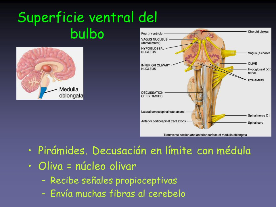 Superficie ventral del bulbo