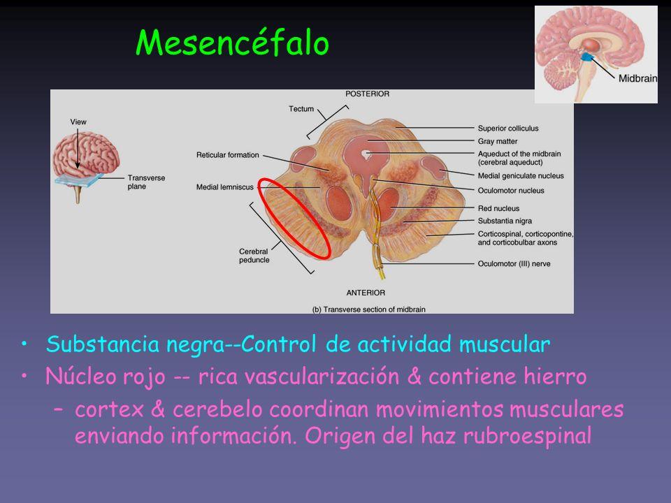 Mesencéfalo Substancia negra--Control de actividad muscular
