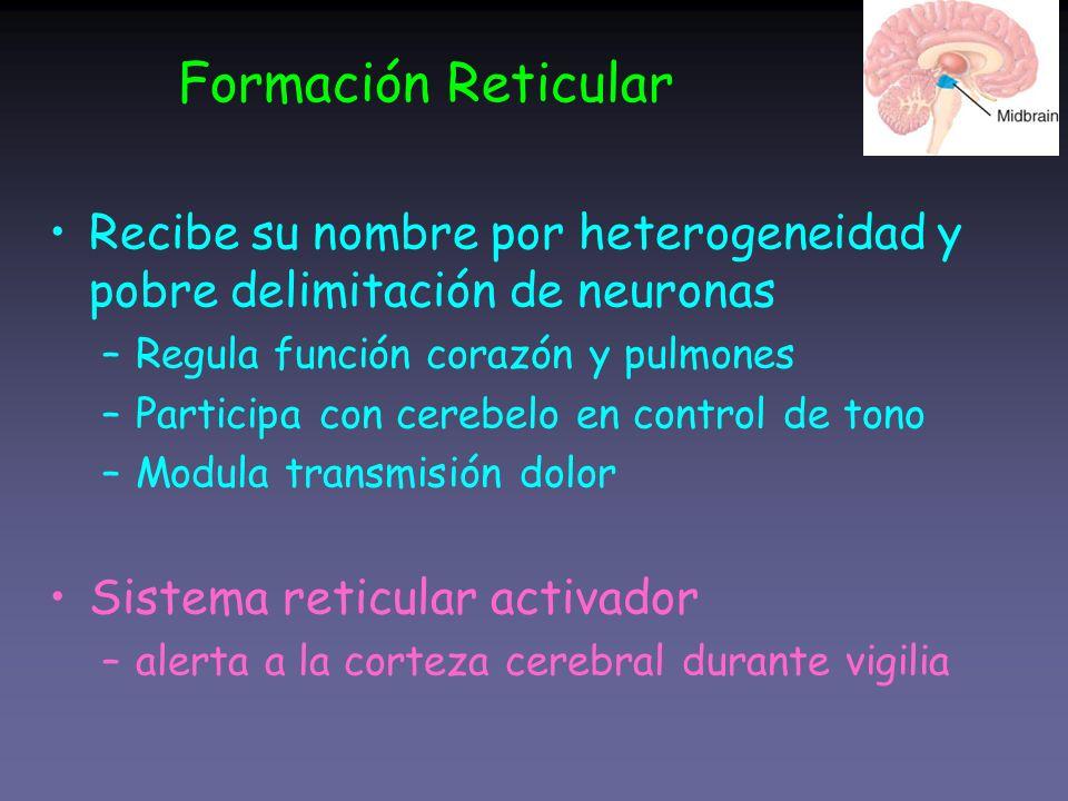 Formación Reticular Recibe su nombre por heterogeneidad y pobre delimitación de neuronas. Regula función corazón y pulmones.