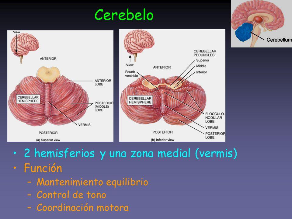 Cerebelo 2 hemisferios y una zona medial (vermis) Función