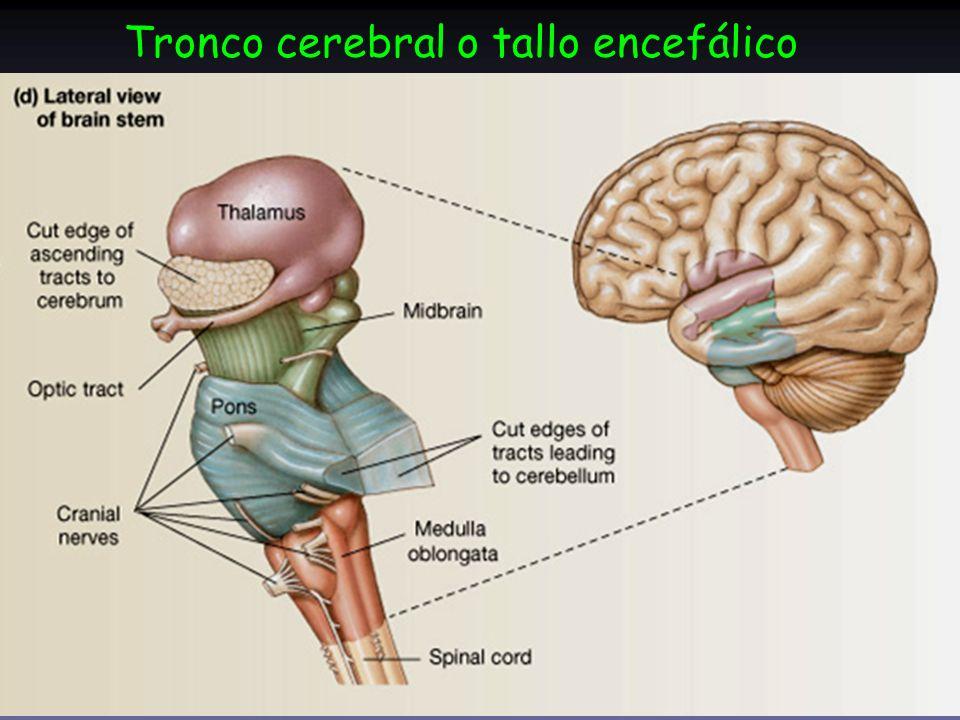 Perfecto El Tronco Encefálico Conecta El Cerebro Con La Modelo ...