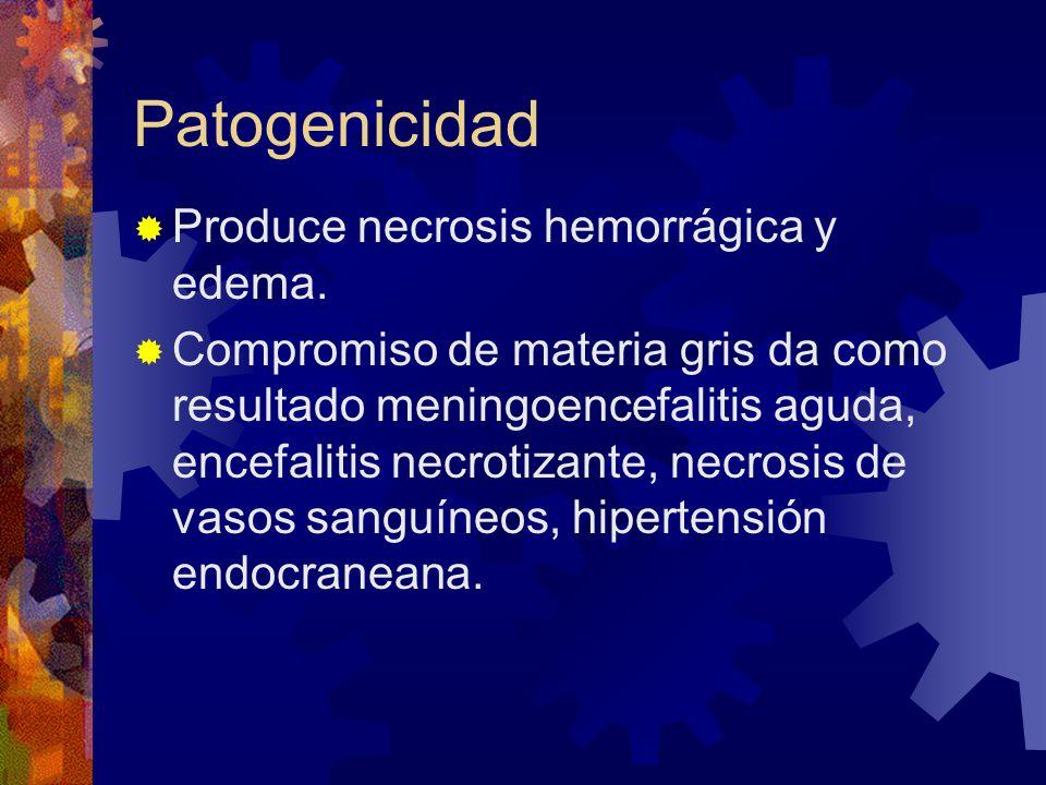 Patogenicidad Produce necrosis hemorrágica y edema.
