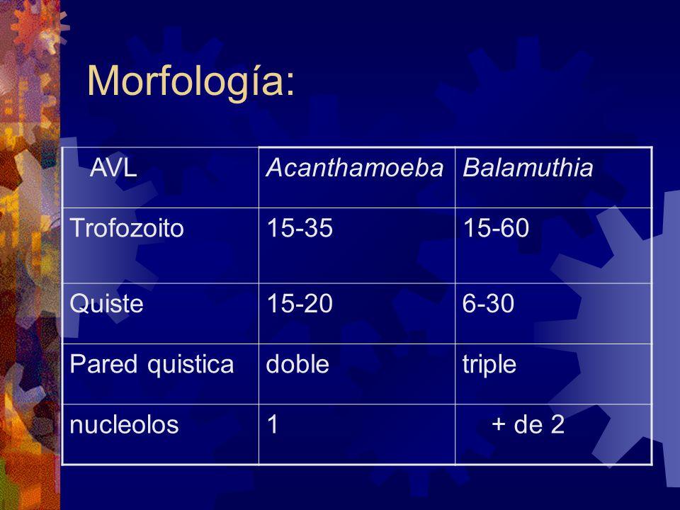 Morfología: AVL Acanthamoeba Balamuthia Trofozoito 15-35 15-60 Quiste