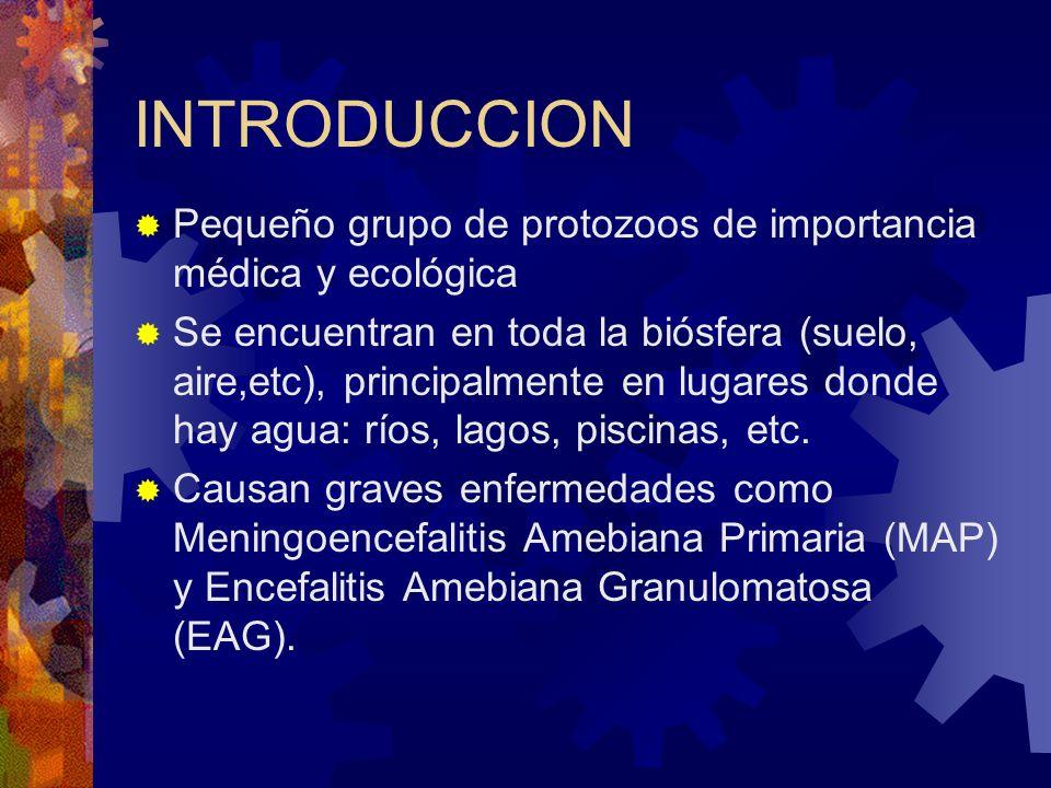 INTRODUCCION Pequeño grupo de protozoos de importancia médica y ecológica.