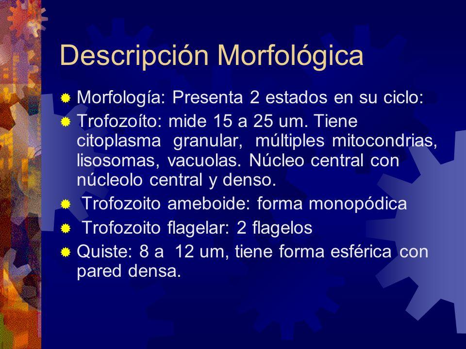 Descripción Morfológica