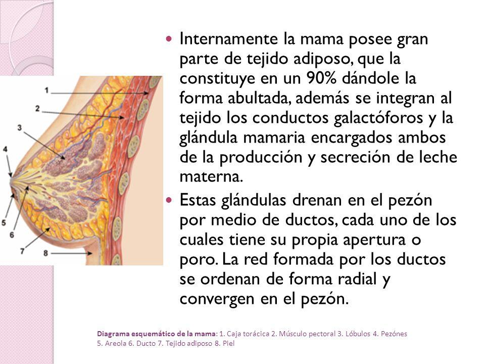 Internamente la mama posee gran parte de tejido adiposo, que la constituye en un 90% dándole la forma abultada, además se integran al tejido los conductos galactóforos y la glándula mamaria encargados ambos de la producción y secreción de leche materna.