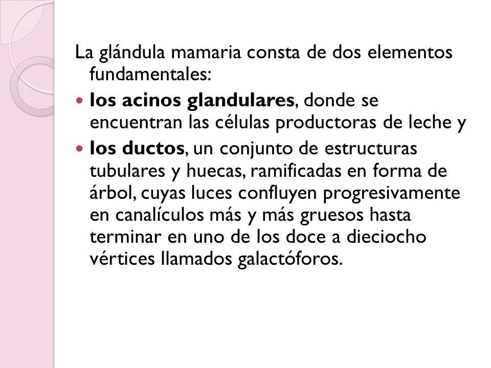 La glándula mamaria consta de dos elementos fundamentales: