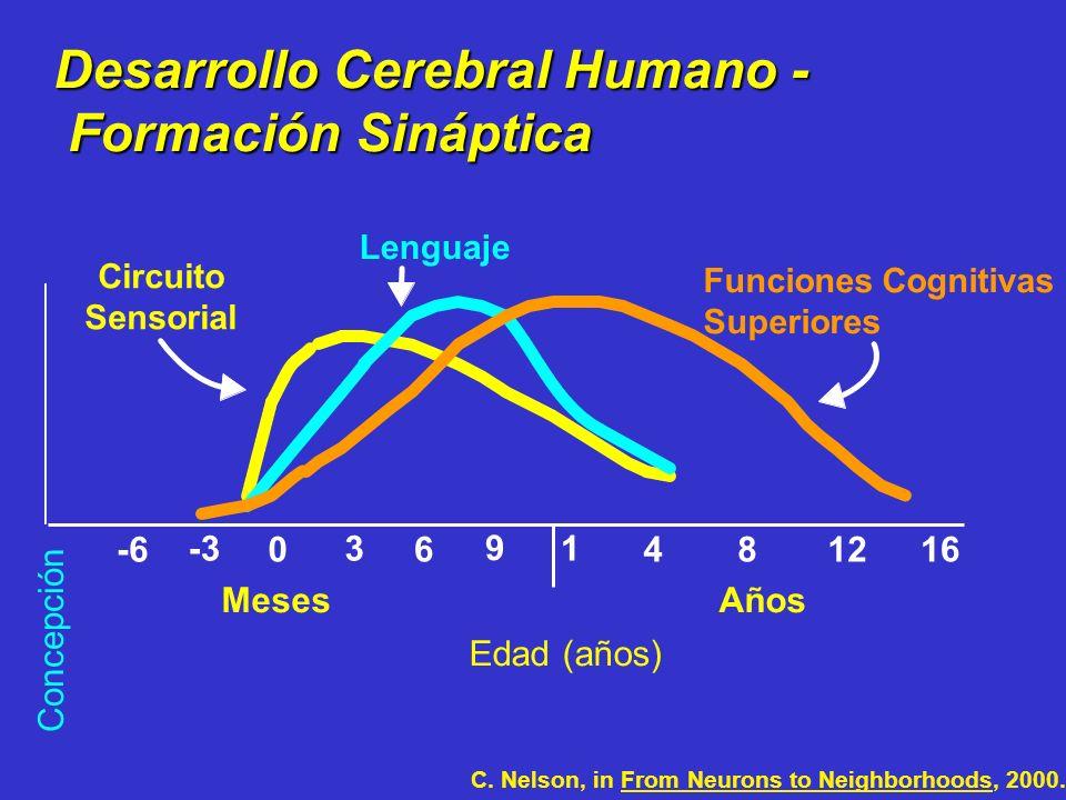 Desarrollo Cerebral Humano - Formación Sináptica