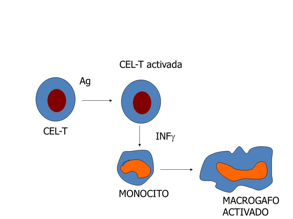 CEL-T activada Ag CEL-T INF MONOCITO MACROGAFO ACTIVADO