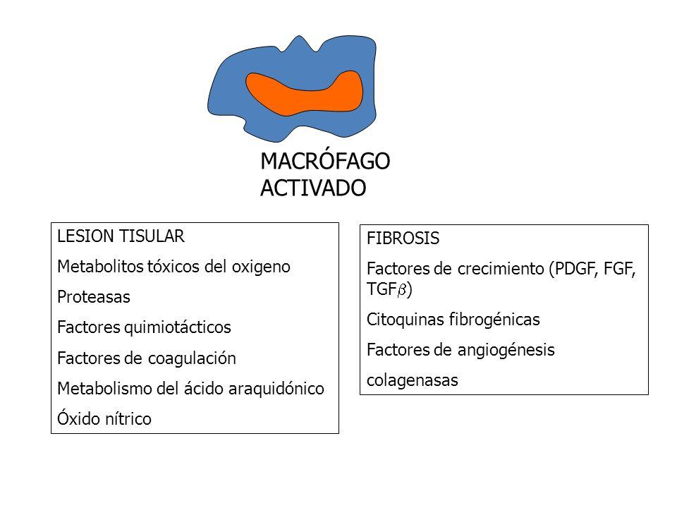 MACRÓFAGO ACTIVADO LESION TISULAR FIBROSIS