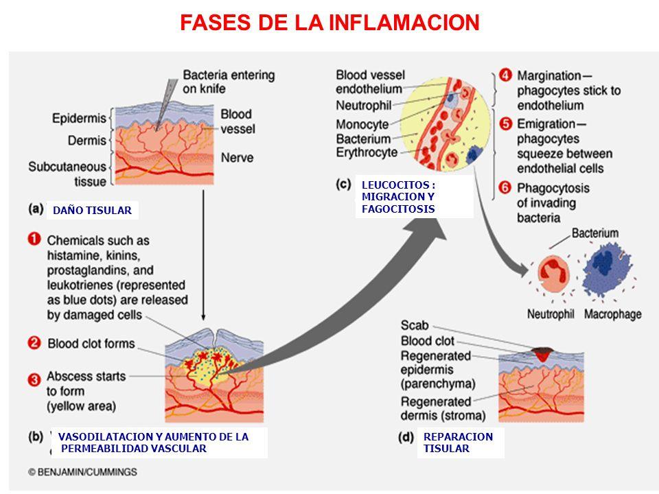 FASES DE LA INFLAMACION