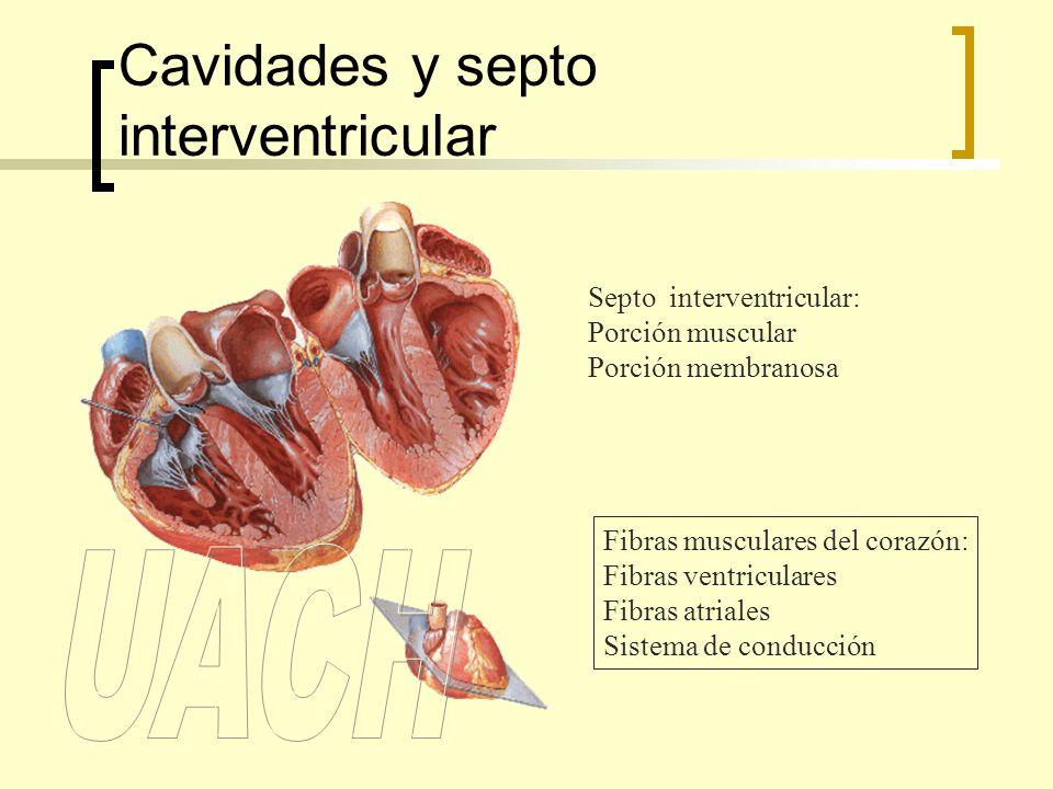 Cavidades y septo interventricular