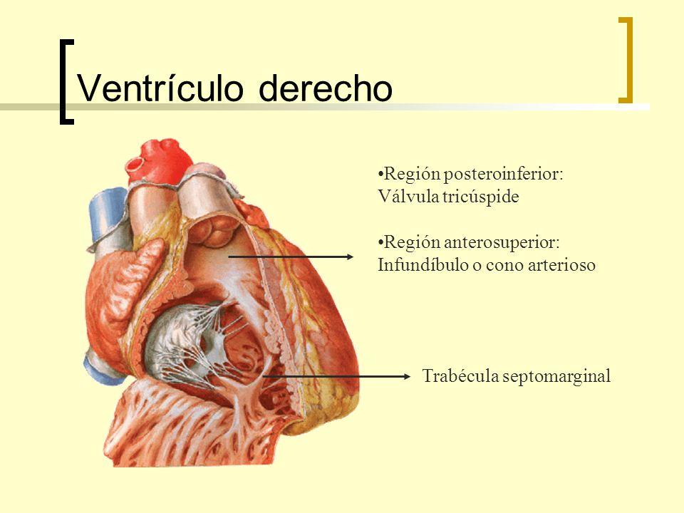 Ventrículo derecho Región posteroinferior: Válvula tricúspide