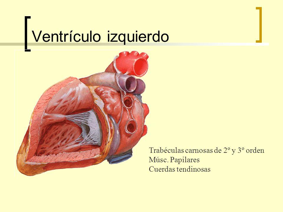 Ventrículo izquierdo Trabéculas carnosas de 2º y 3º orden