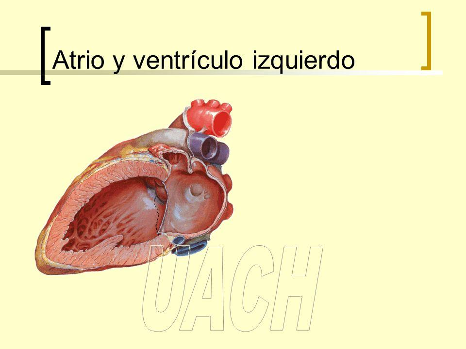 Atrio y ventrículo izquierdo