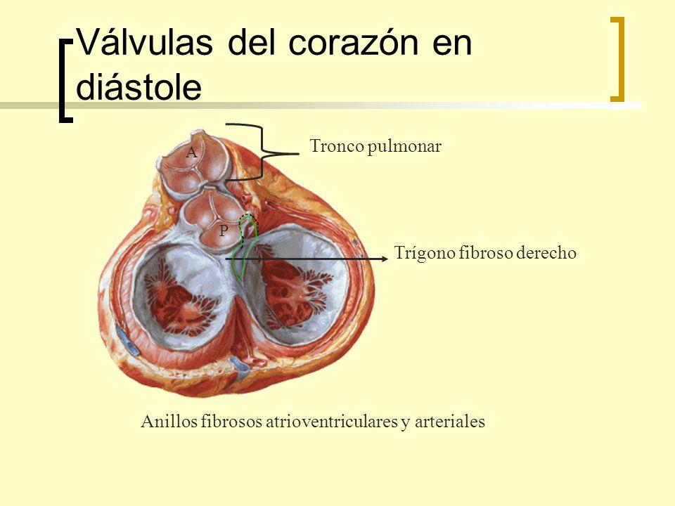 Válvulas del corazón en diástole