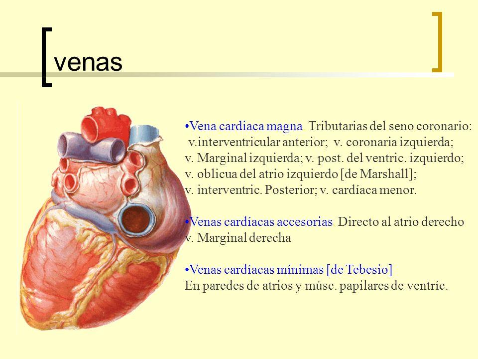 venas Vena cardiaca magna. Tributarias del seno coronario: