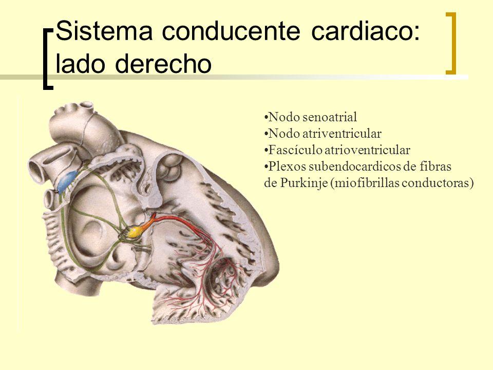Sistema conducente cardiaco: lado derecho