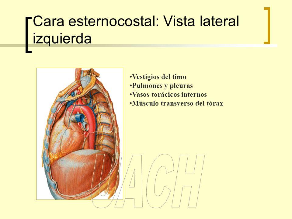 Cara esternocostal: Vista lateral izquierda