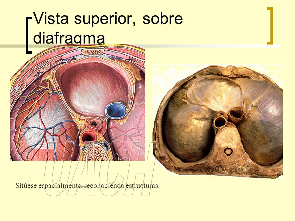 Vista superior, sobre diafragma