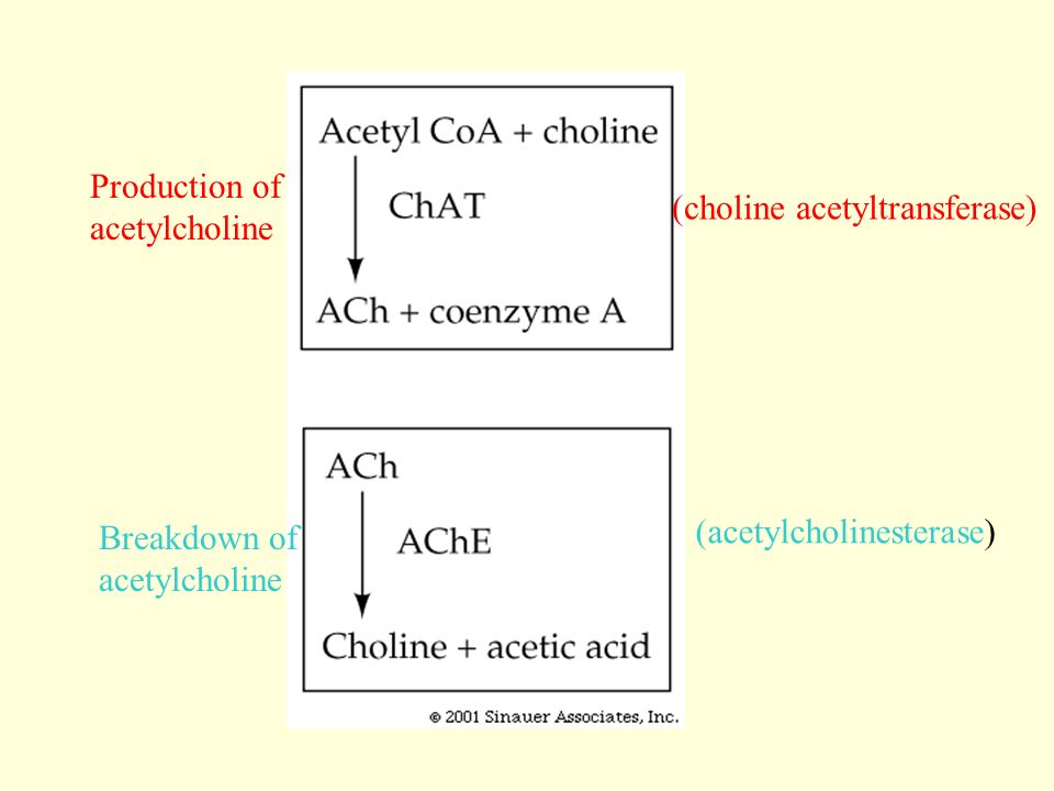 Production of acetylcholine. (choline acetyltransferase) Breakdown of.