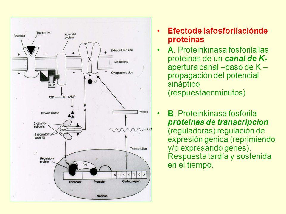 Efectode lafosforilaciónde proteinas