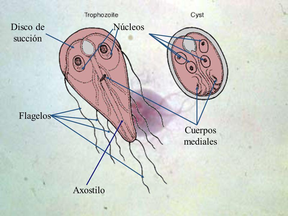 Disco de succión Núcleos Flagelos Cuerpos mediales Axostilo