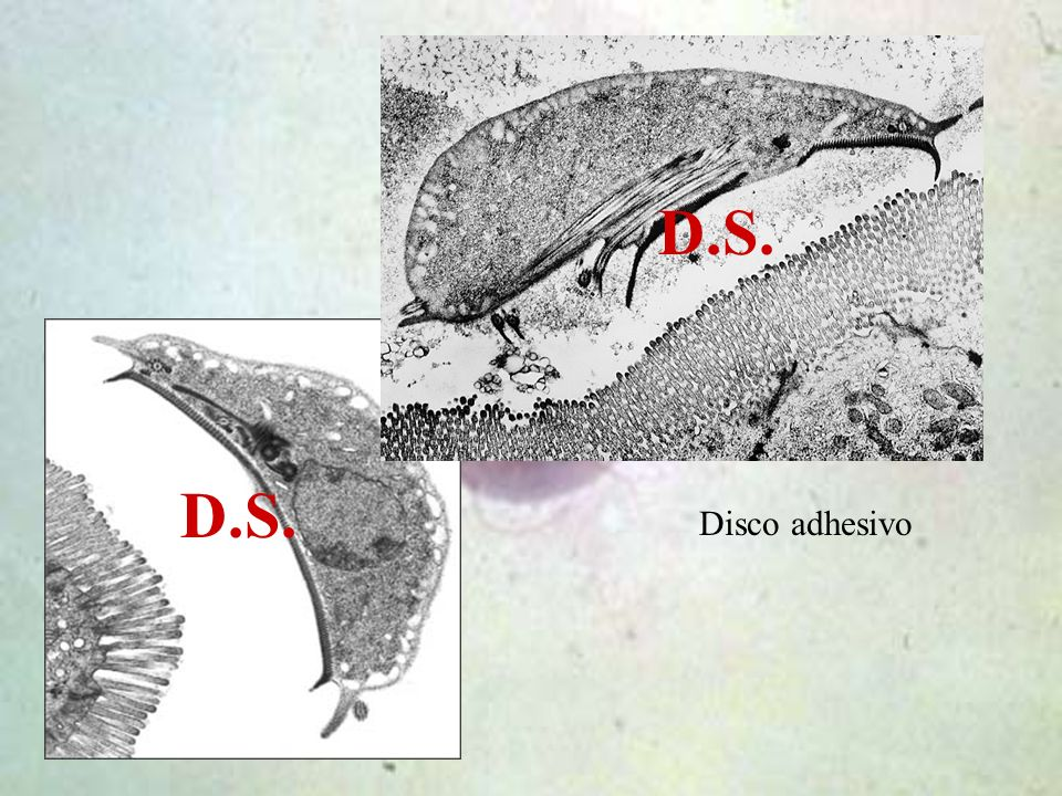 D.S. D.S. Disco adhesivo