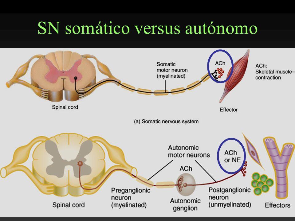 SN somático versus autónomo