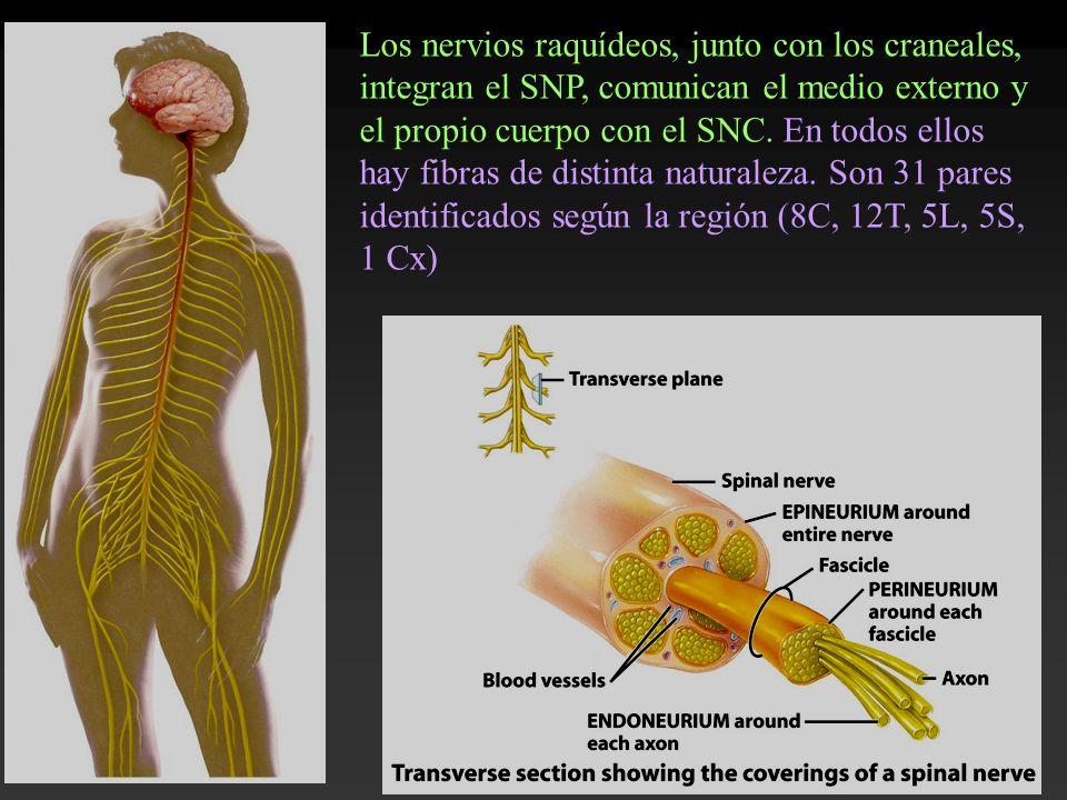 Los nervios raquídeos, junto con los craneales, integran el SNP, comunican el medio externo y el propio cuerpo con el SNC.