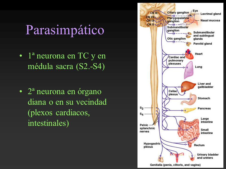 Parasimpático 1ª neurona en TC y en médula sacra (S2.-S4)