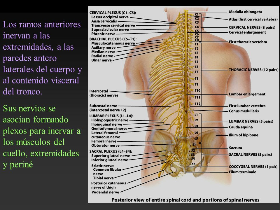 Los ramos anteriores inervan a las extremidades, a las paredes antero laterales del cuerpo y al contenido visceral del tronco.