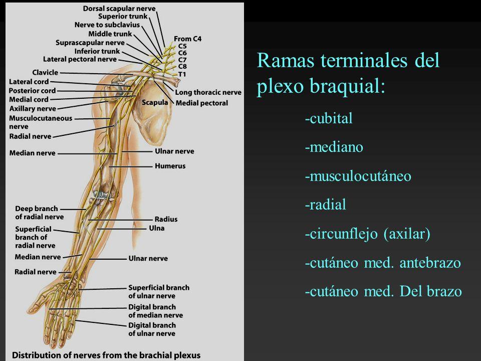 Ramas terminales del plexo braquial: