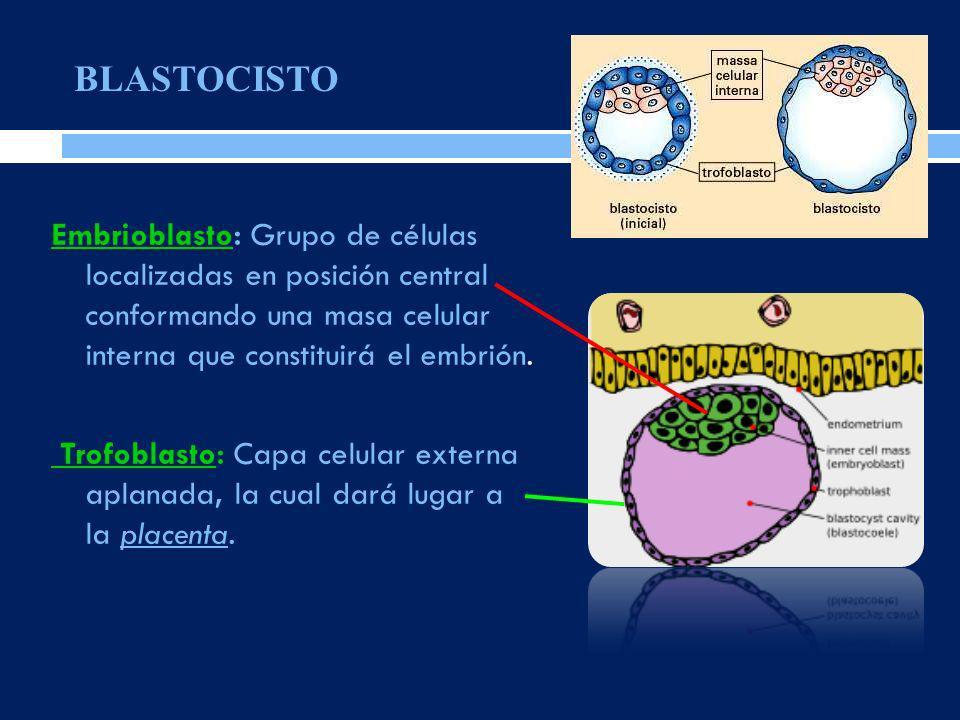BLASTOCISTO Embrioblasto: Grupo de células localizadas en posición central conformando una masa celular interna que constituirá el embrión.