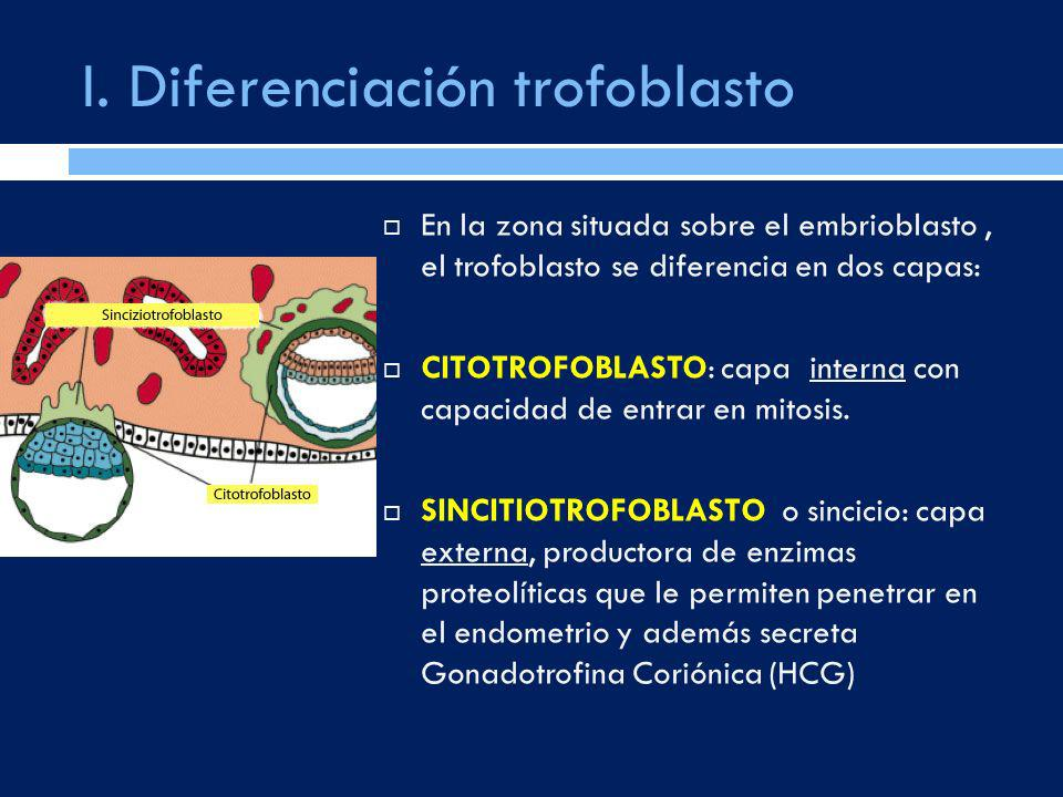 I. Diferenciación trofoblasto