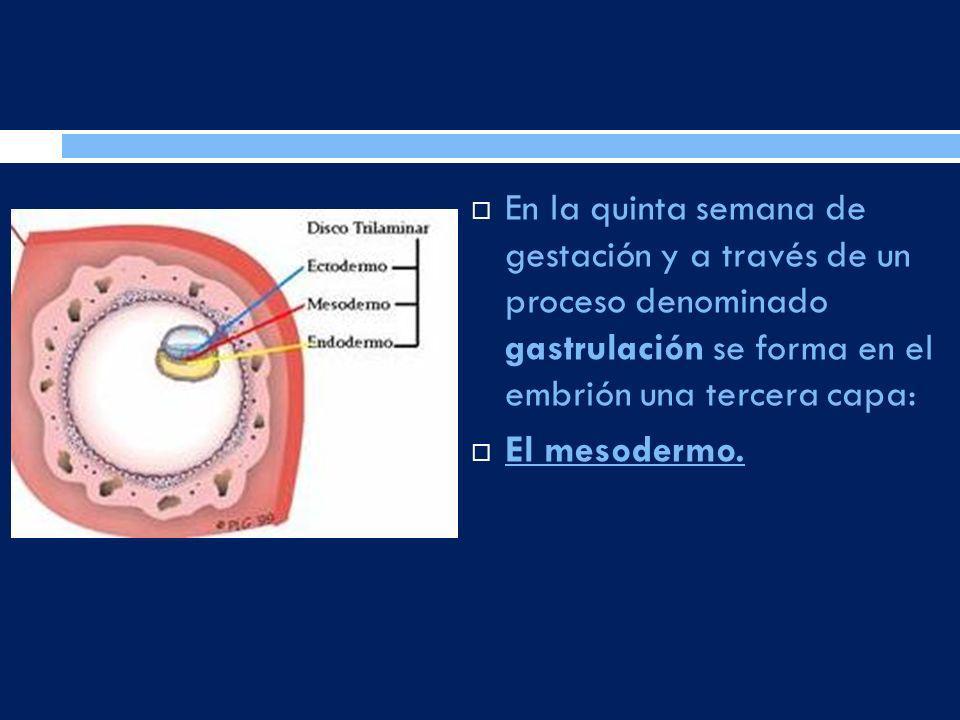 En la quinta semana de gestación y a través de un proceso denominado gastrulación se forma en el embrión una tercera capa: