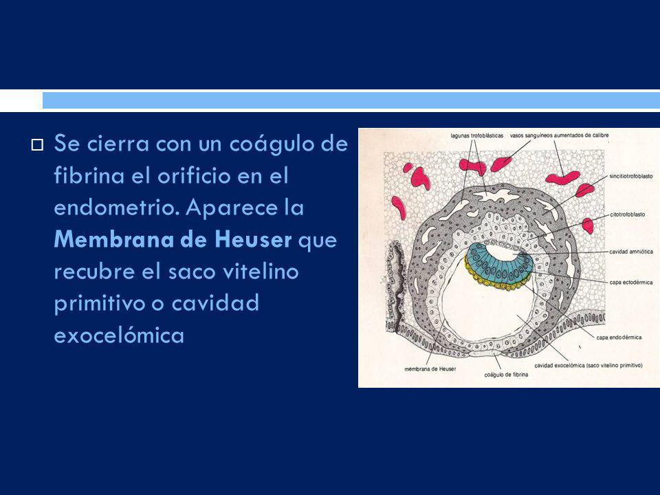 Se cierra con un coágulo de fibrina el orificio en el endometrio