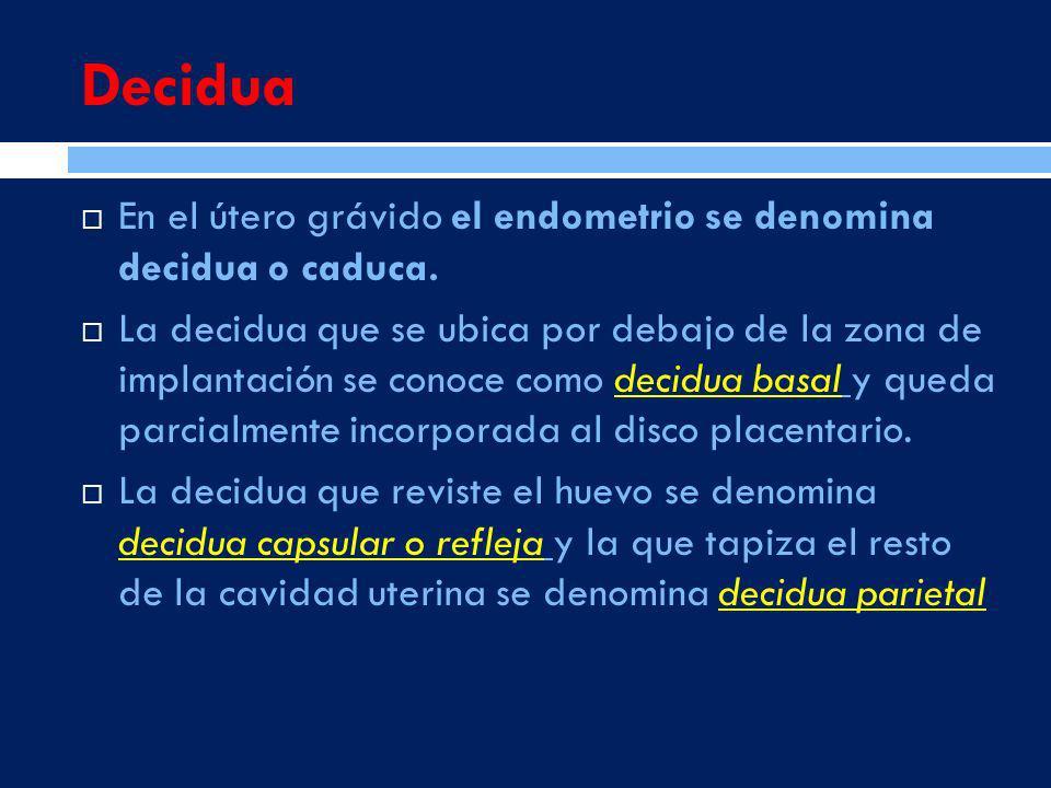 DeciduaEn el útero grávido el endometrio se denomina decidua o caduca.