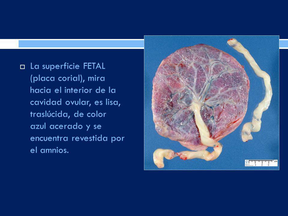 La superficie FETAL (placa corial), mira hacia el interior de la cavidad ovular, es lisa, traslúcida, de color azul acerado y se encuentra revestida por el amnios.