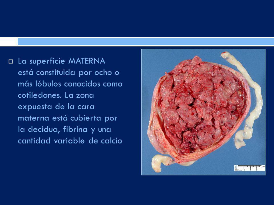 La superficie MATERNA está constituida por ocho o más lóbulos conocidos como cotiledones.