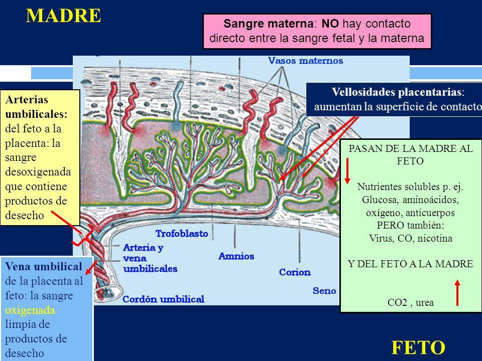 MADRE Sangre materna: NO hay contacto directo entre la sangre fetal y la materna. Vellosidades placentarias: aumentan la superficie de contacto.