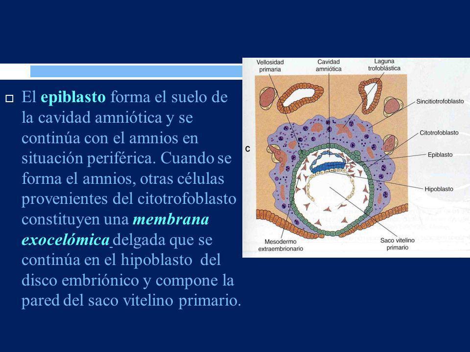 El epiblasto forma el suelo de la cavidad amniótica y se continúa con el amnios en situación periférica.