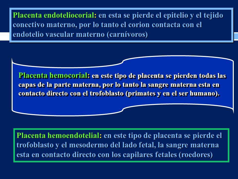 Placenta endoteliocorial: en esta se pierde el epitelio y el tejido conectivo materno, por lo tanto el corion contacta con el endotelio vascular materno (carnívoros)