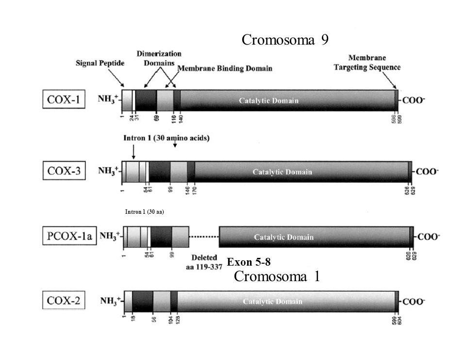 Cromosoma 9 Intron 1 (30 aa) Exon 5-8 Cromosoma 1
