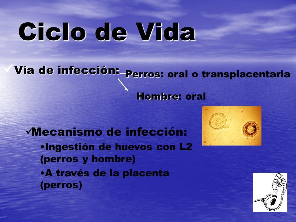 Ciclo de Vida Vía de infección: Mecanismo de infección: